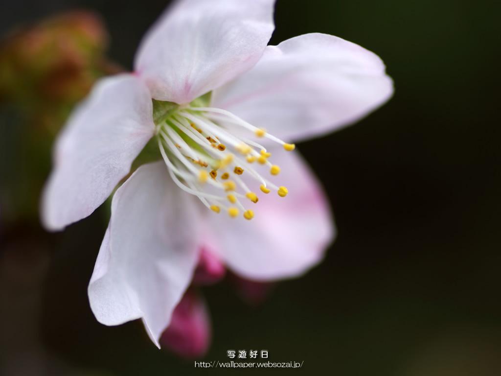 無料の高画質デスクトップ壁紙…桜・さくら・サクラ ― 桜・さくら・サクラ ―